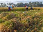 Sejumlah pekerja memanen padi di persawahan Desa Sirnoboyo, Kebonagung, Pacitan, Jatim,( foto : berita Daerah)